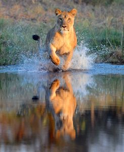 A photo of a lioness hunting that Magill took in the Okavango Delta in Botswana